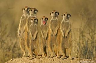 central-kalahari-game-reserve-meerkats