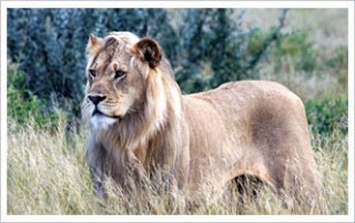 central-kalahari-game-reserve-lion