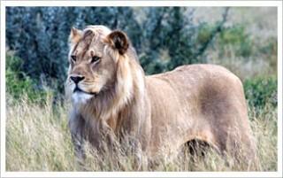 central-kalahari-game-reserve-lion