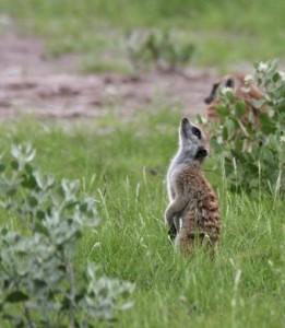 Meerkat Deception Valley