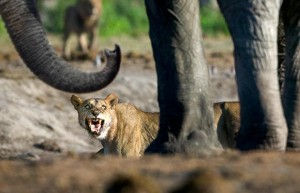 Savuti-Lions-of-the-Chobe-National-Park-3